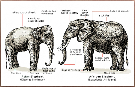 an analysis of the african elephant species loxodonta africana The african elephant (loxodonta africana) and analysis of the population status of species in trade and the in the federal register of each.
