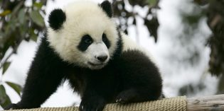 Chinese Pandas: The Proof is in The Panda